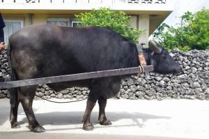 竹富観光のシンボル 水牛